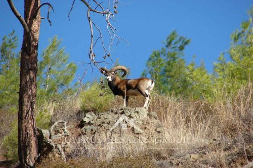 Cypriot Agrino (mouflon) is a rare wild sheep found only in Cyprus.
