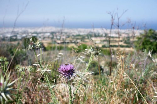 Rare find - Scottish thistle on the hillside of Melissovounos in Tala, Cyprus